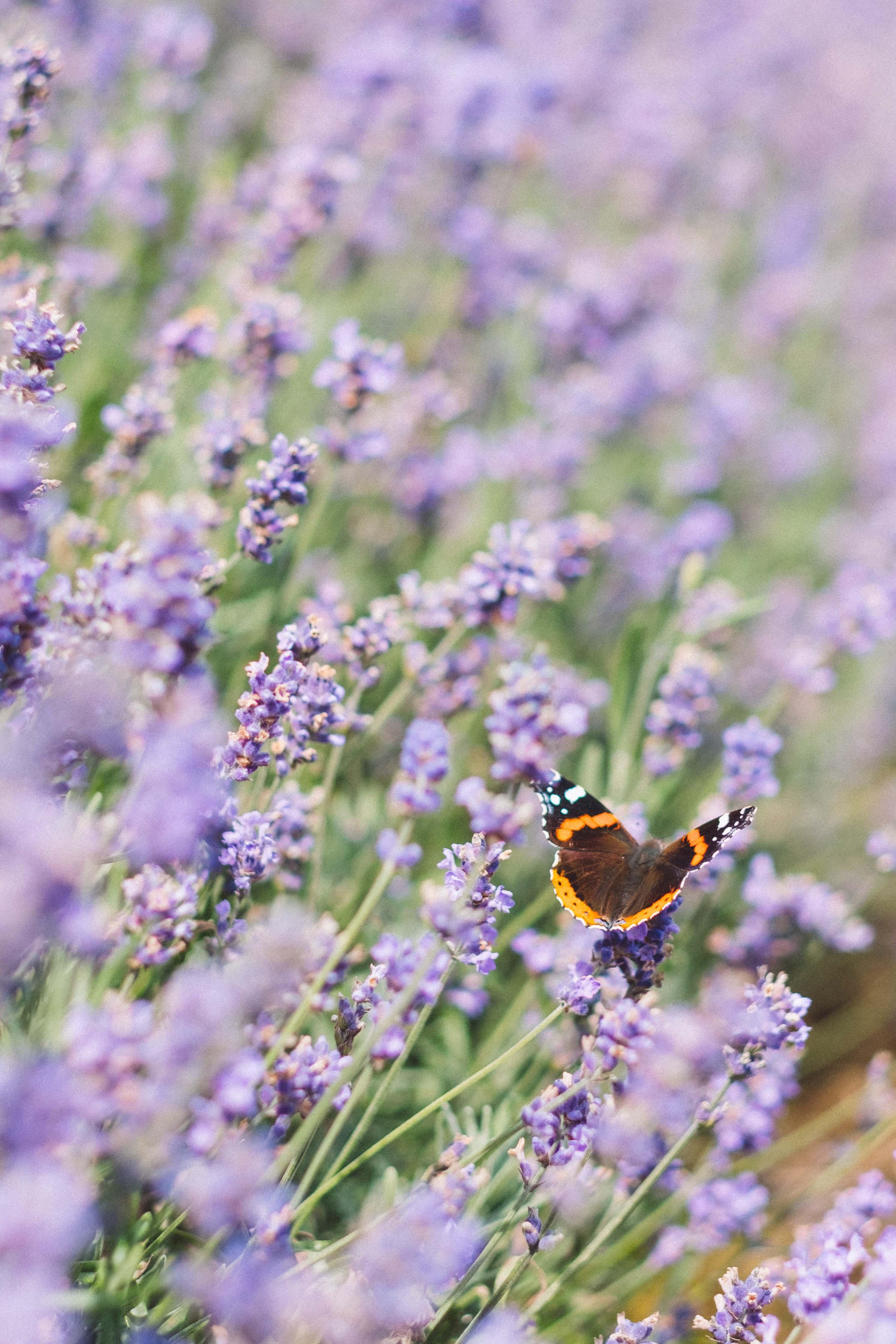 Lavendelfeld mit Schmetterling